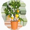 citrici