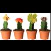 cactusi mic 2
