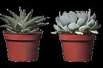 plante grase mic 2