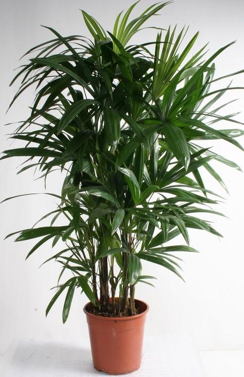 Rhapis excelsa p48 h230 palmier for Plante de interior