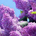Liliacul, floarea primăverii