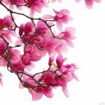 Magnolia, arbustul cu flori