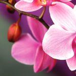 Orhideea, ideală pentru apartamente