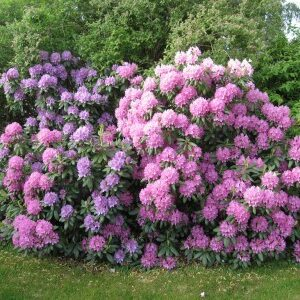 RHODODENDRONI AZALEE CAMELII HORTENSII
