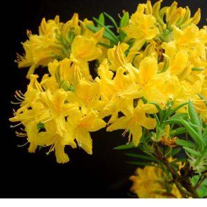 Imagini pentru flori de camelii