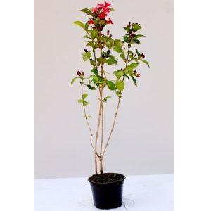 Citygarden iti ofera cele mai frumoase plante cataratoare for Plante 60 80