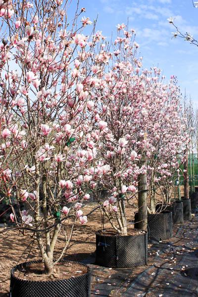 magnolia soulangeana pc18 8 10 1 2st. Black Bedroom Furniture Sets. Home Design Ideas