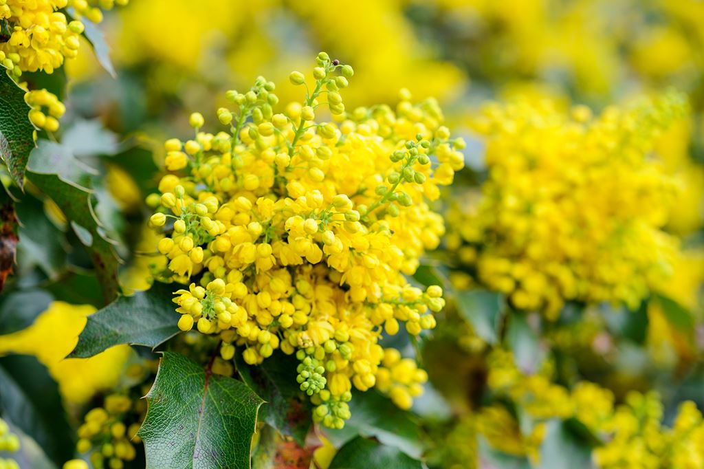 Mahonia Apollo
