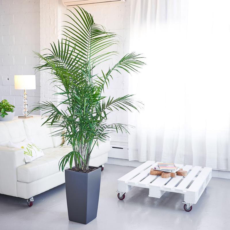 majesty-palm-ghiveci-cubico
