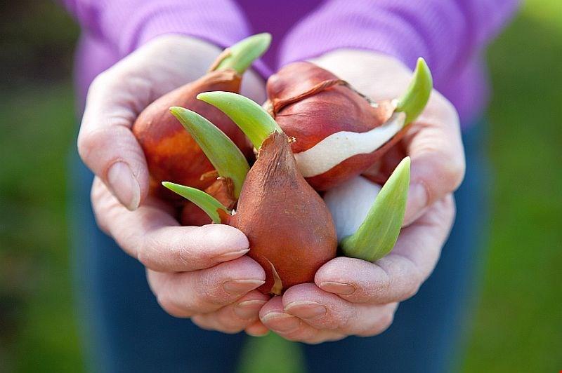 plantare bulbi gradina pentru toamna