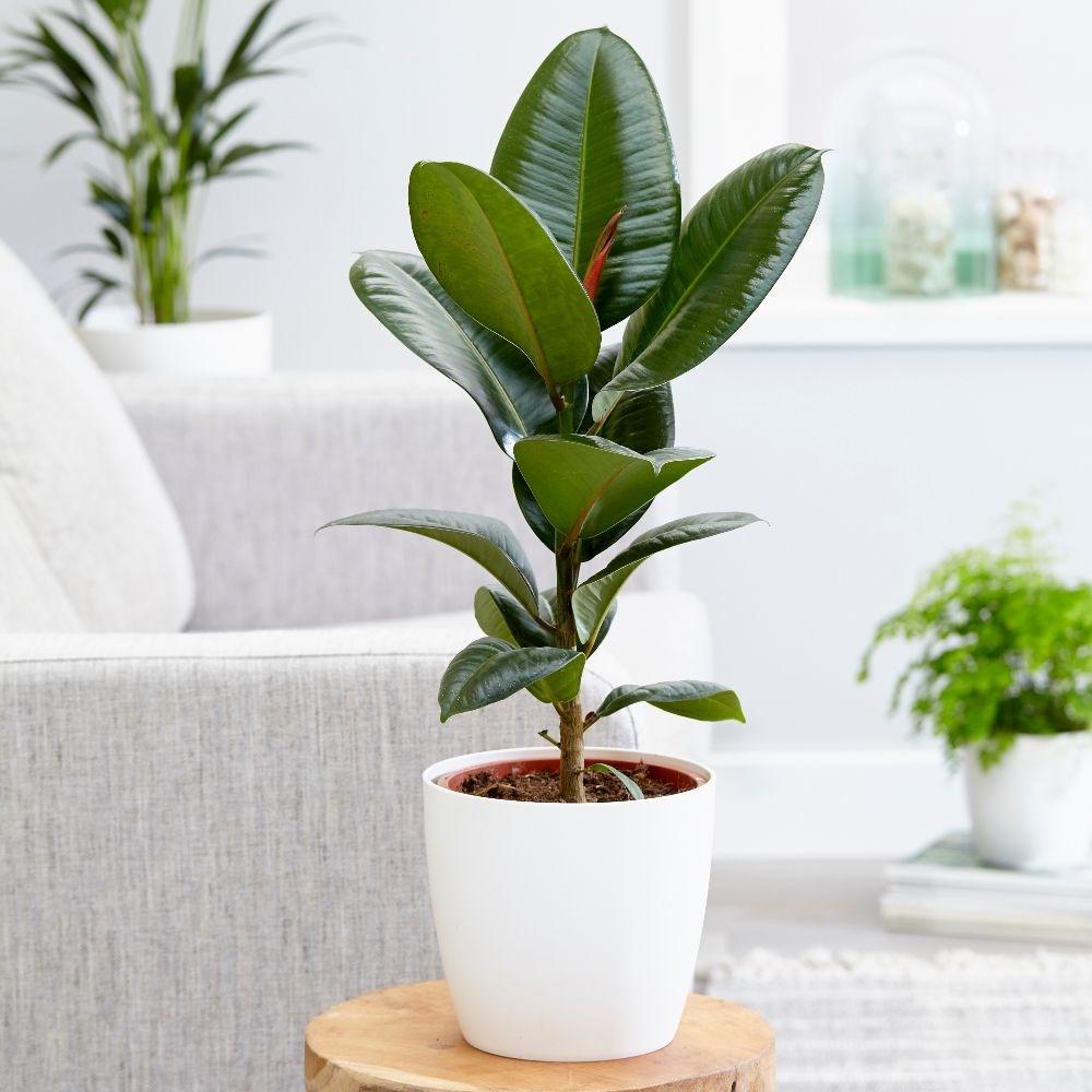 Ficus de apartament