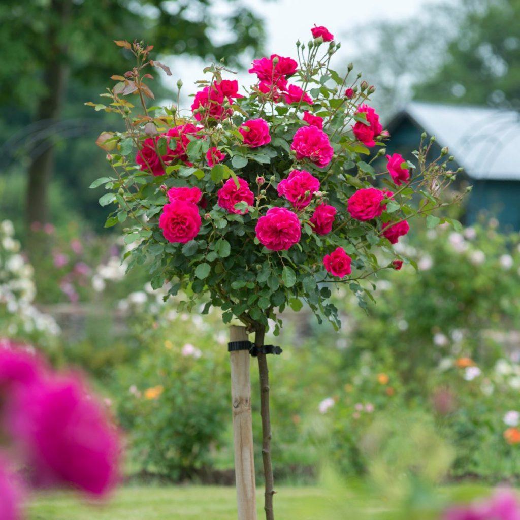 Trandafiri pe picior