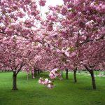 Alege cei mai frumoși arbori decorativi prin flori pentru grădina ta