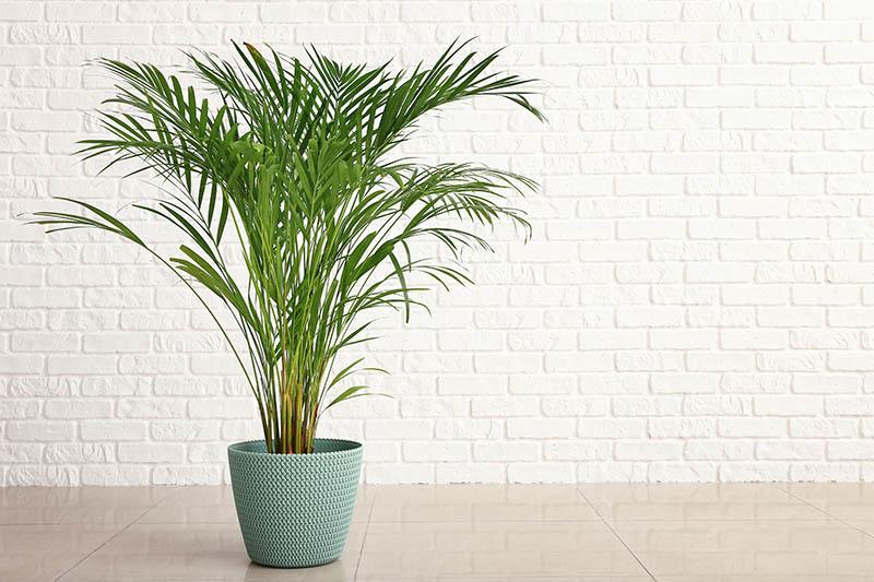 Areca - Palmier de interior