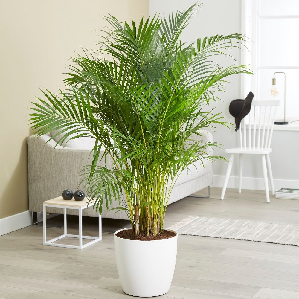 Areca - palmier de apartament
