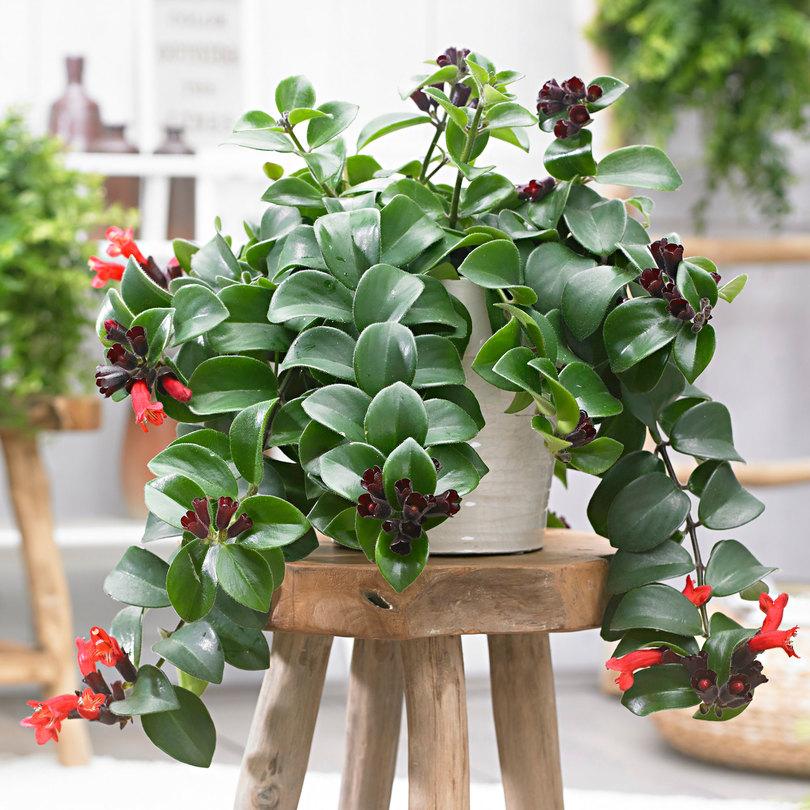 planta agatatoare AESCHYNANTHUS