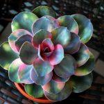 Echeveria – Plantă de apartament de o frumusețe surprinzătoare