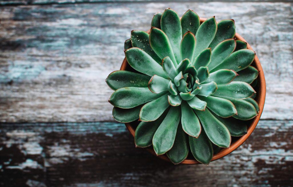Echeveria-Planta-suculenta