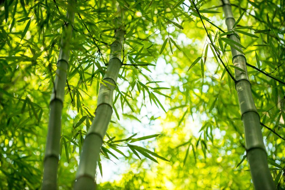 Padure bambus