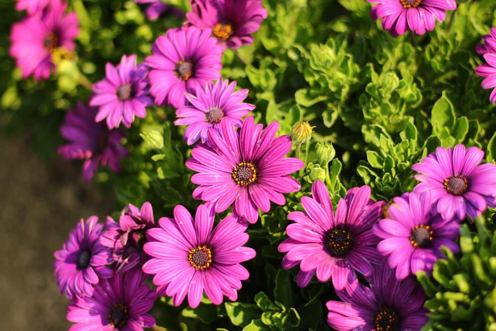 Margareta africană - plantă cu flori