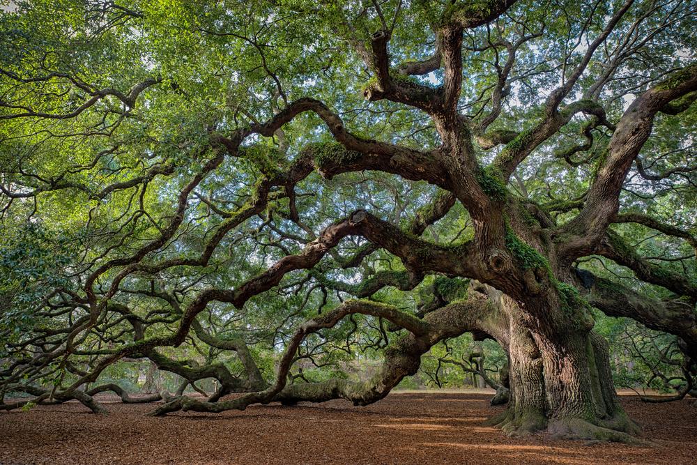 Curiozități - Copac milenar