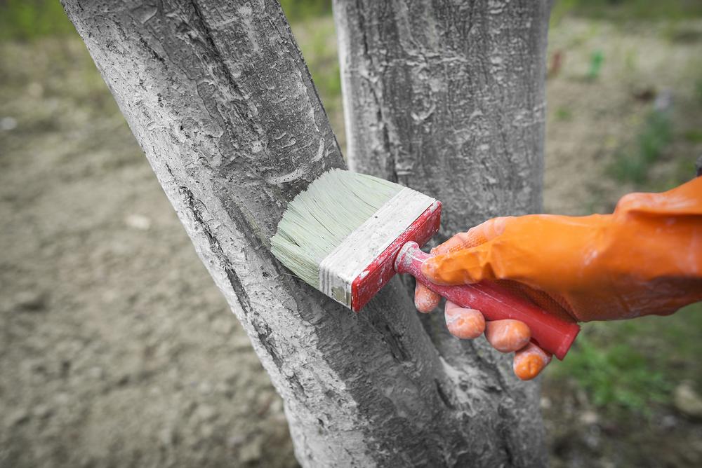 Văruire pomi