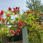 Arbuștii fructiferi – Alternativa la pomii fructiferi pentru o grădină de mici dimensiuni