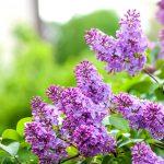 Liliacul, arbuștul care îți înfrumusețează grădina